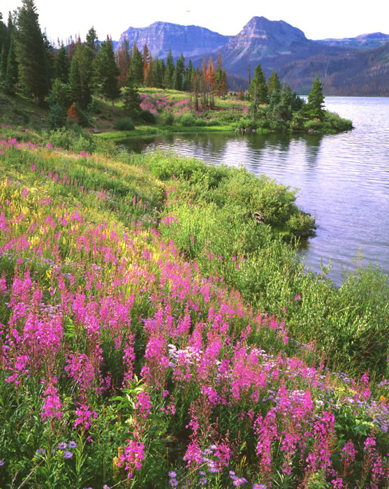 0525 Trappers Lake Fireweed